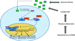 Androgen Metabolism of Prostate