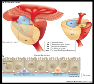 Prostate Zones and Cells